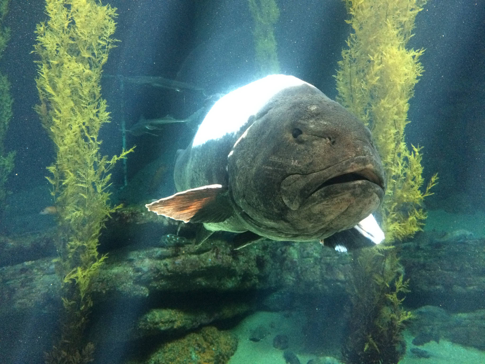 Giant Sea bass face Monterey Bay Aquarium