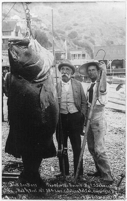 Giant seabass Library of Congress
