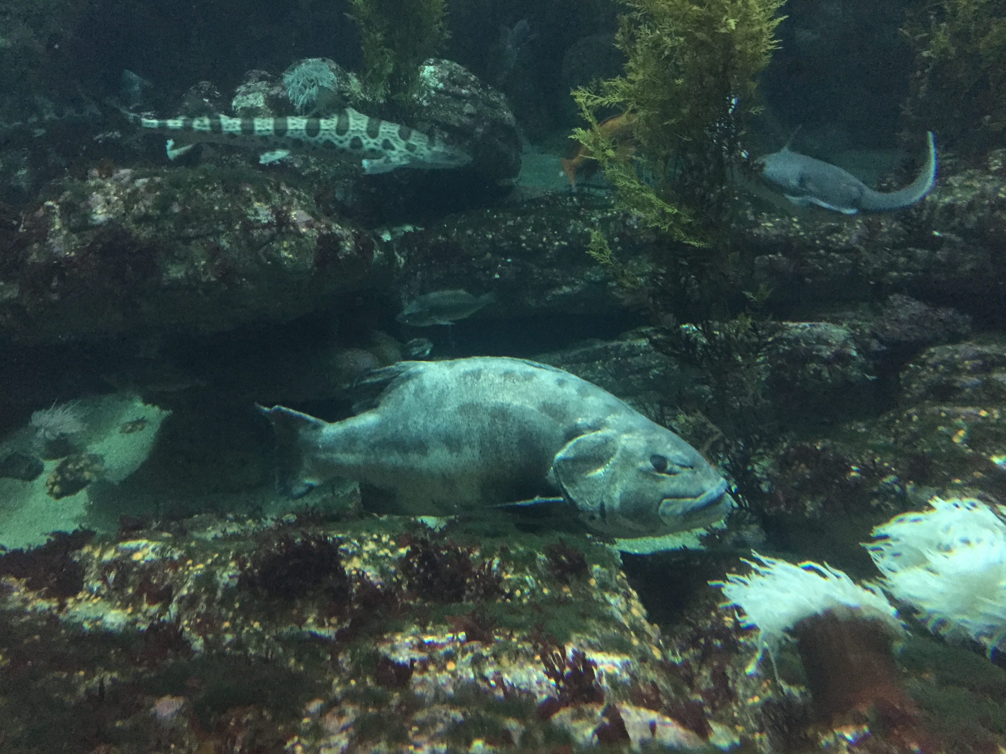 Giant sea bass Monterey Bay Aquarium