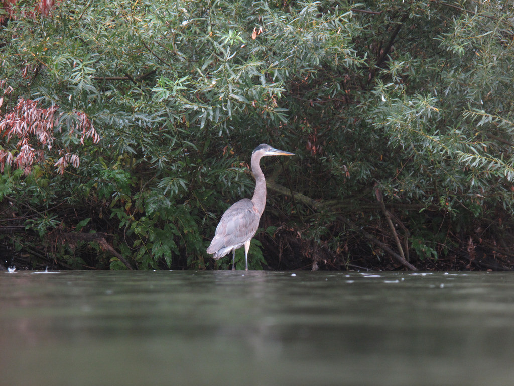 Great blue heron on the water