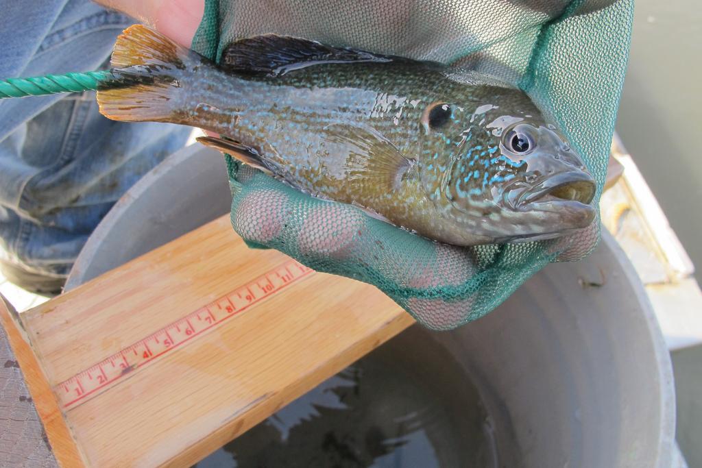 Fish Food for Food Fish: More California Fish Introductions