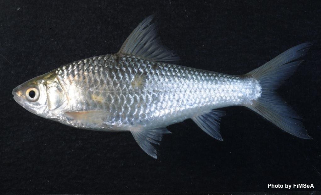 Siamese Mudcarp: Henicorhynchus siamensis