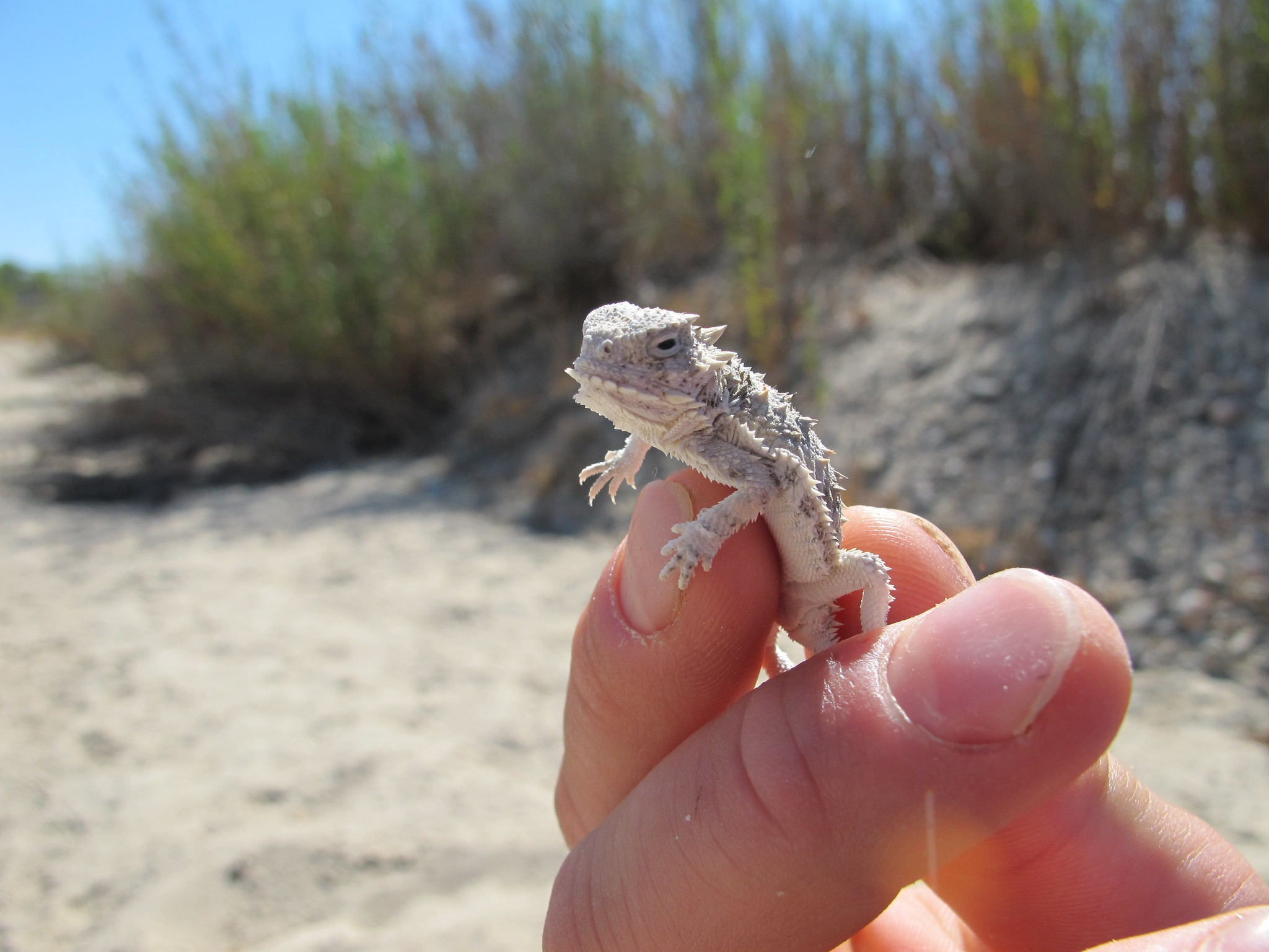 Holding a horned lizard