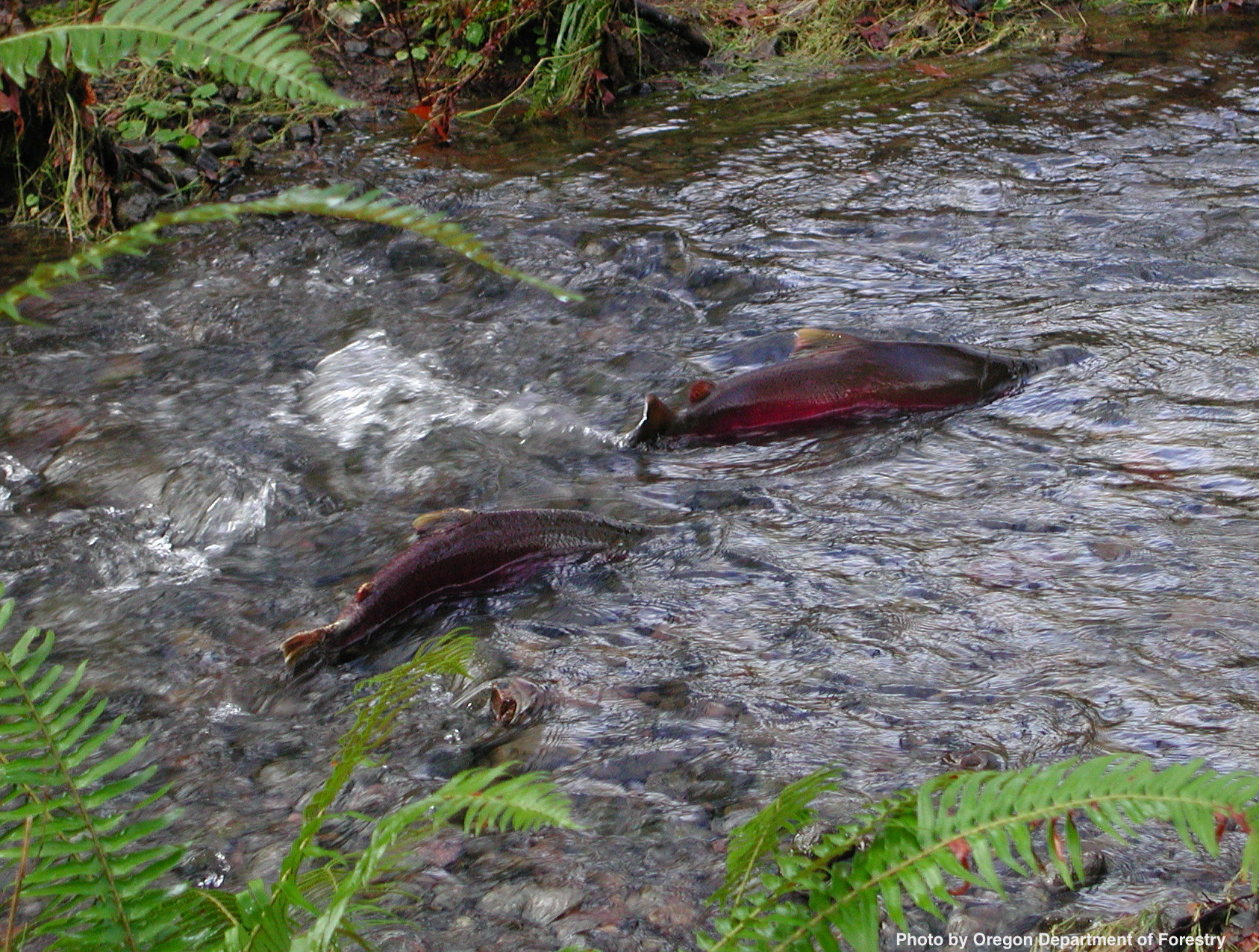 Homestead_coho_salmon_Tillamook_Forest