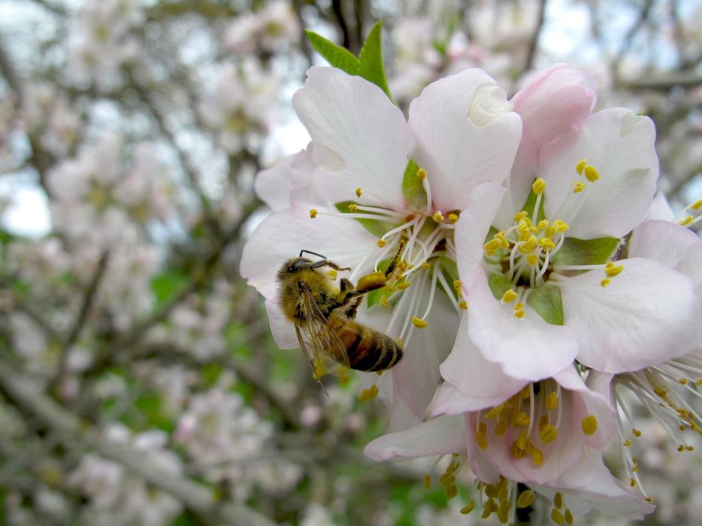 Honeybee on almond blossom
