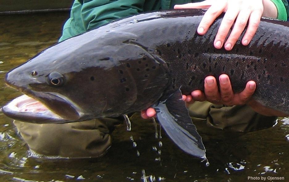 Hucho_taimen_June_2007_Uur_River copy
