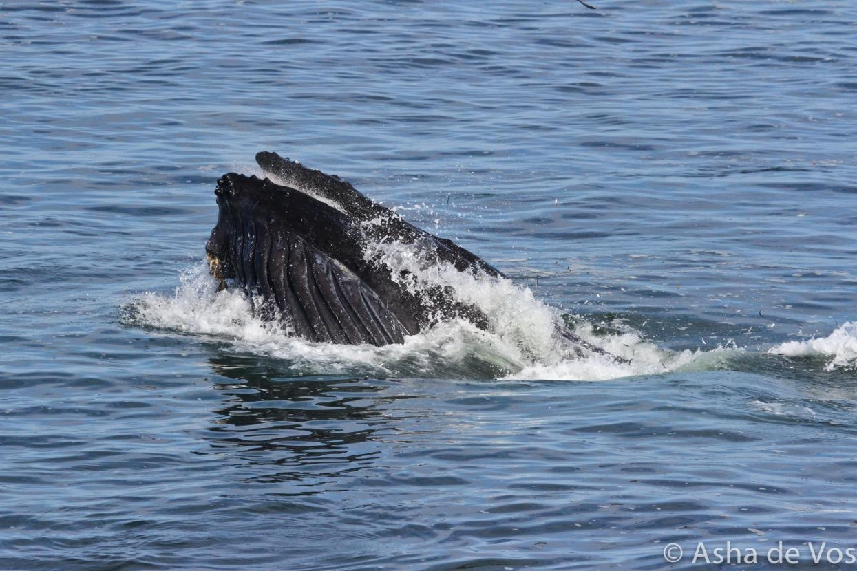 Humpback whale in Mitchells Cove