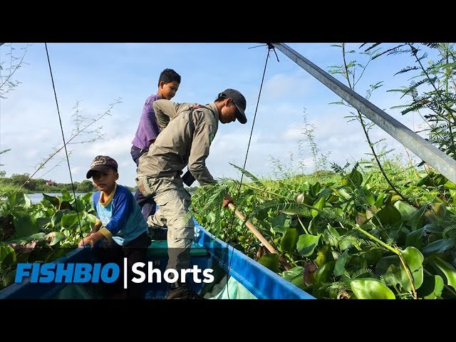 Hyacinth Cambodia Fishbio Shorts