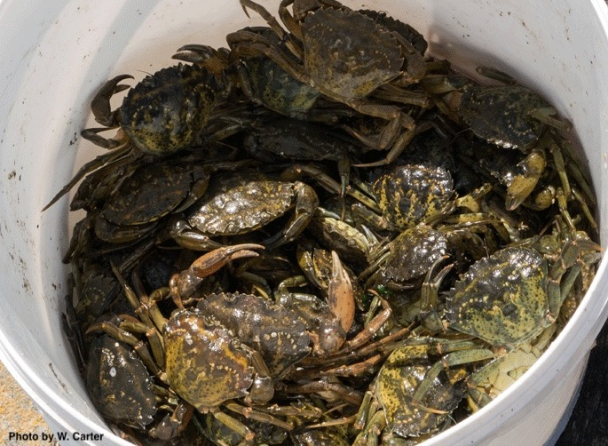 Invasive Green Crabs in a Bucket