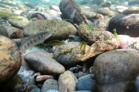 Juvenile rainbow trout