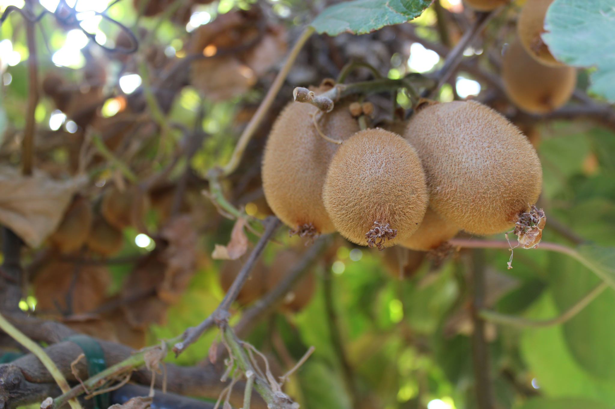 Kiwis on the vine
