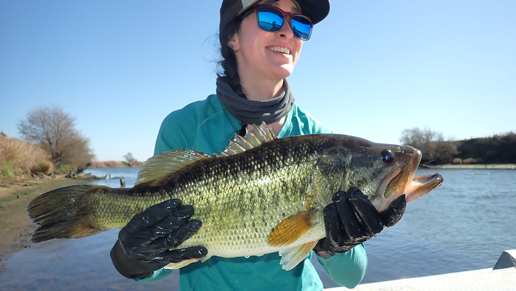 Large Black Bass