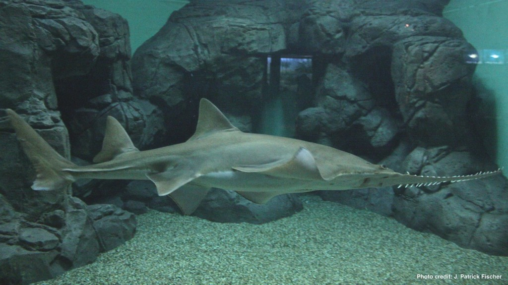 Largetooth Sawfish (Pristis pristis)