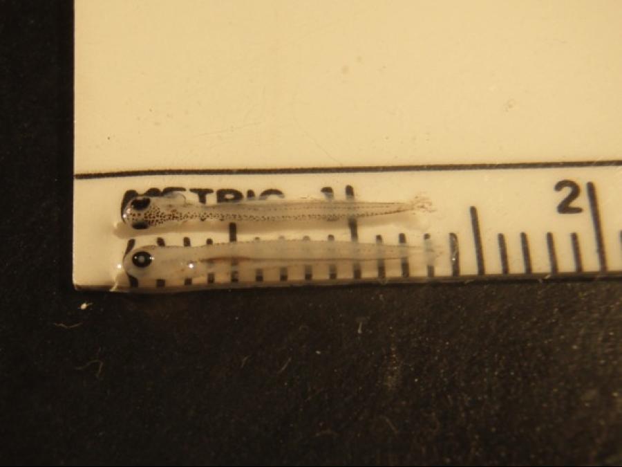 Larval suckers.