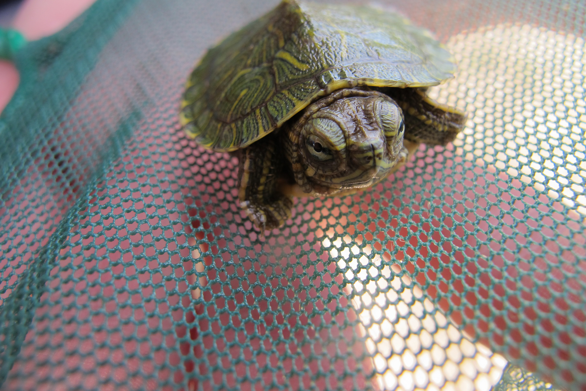 Little red-eared slider on a net