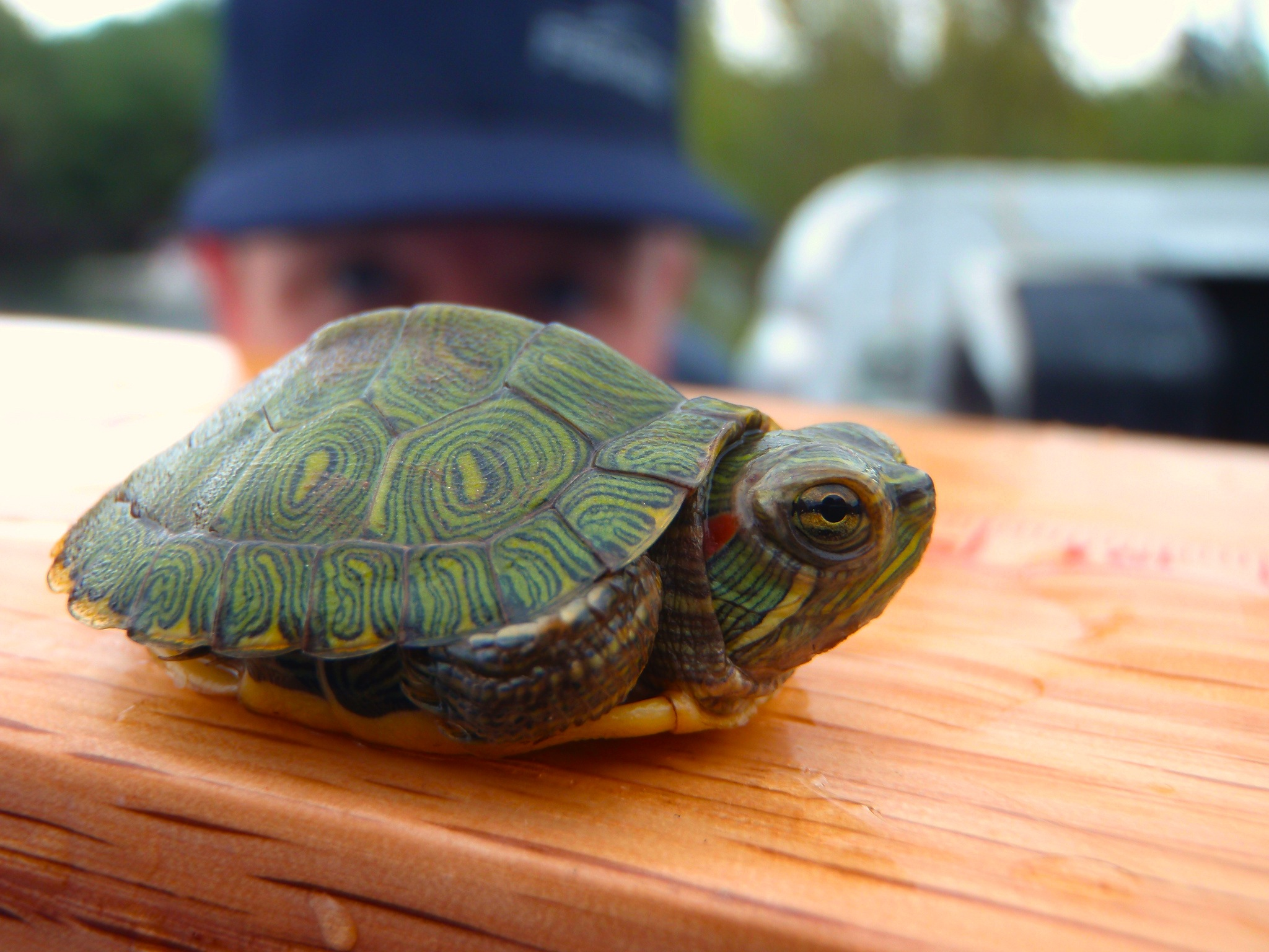 Little red-eared slider