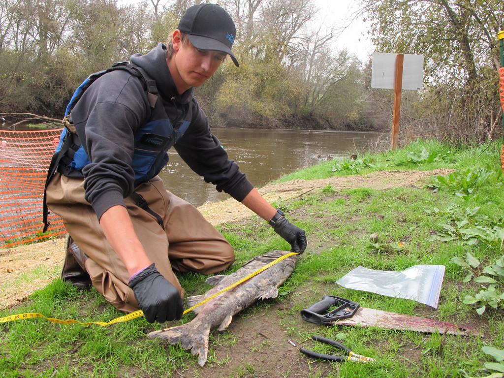 Measuring a Salmon Carcass_15419029053_l