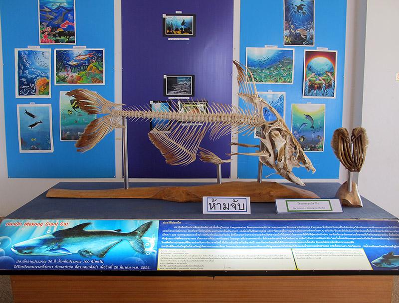 Mekong Giant Catfish skeleton