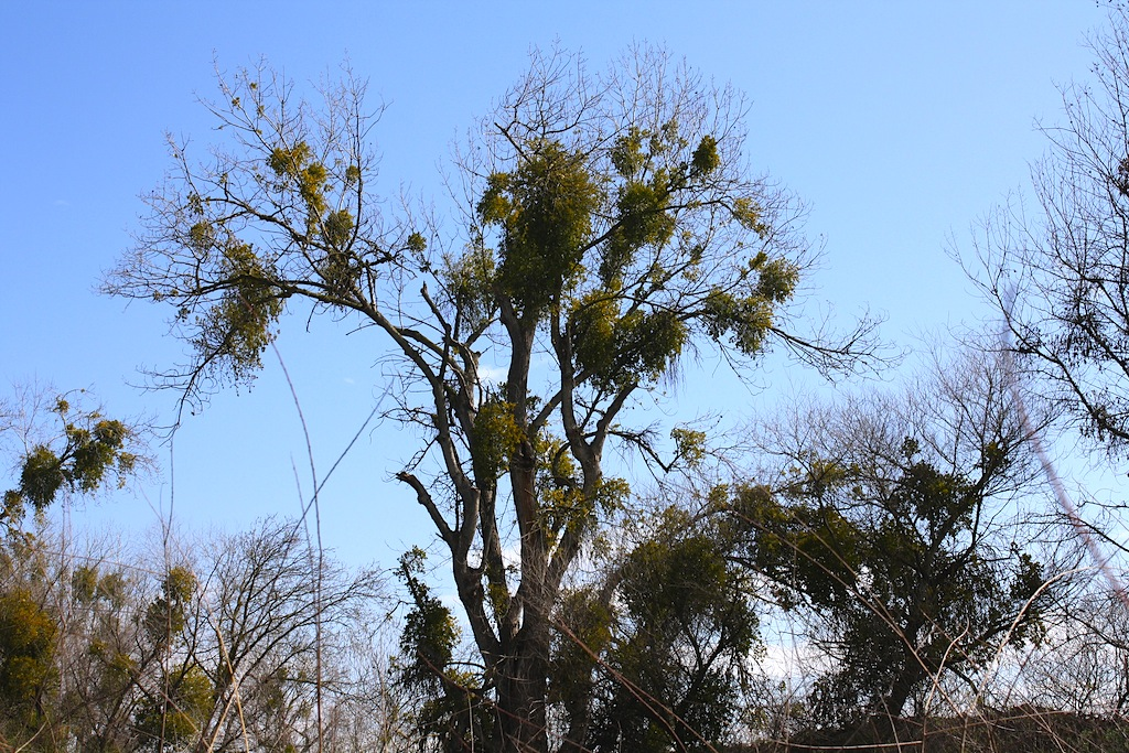 Mistletoe and witches brooms