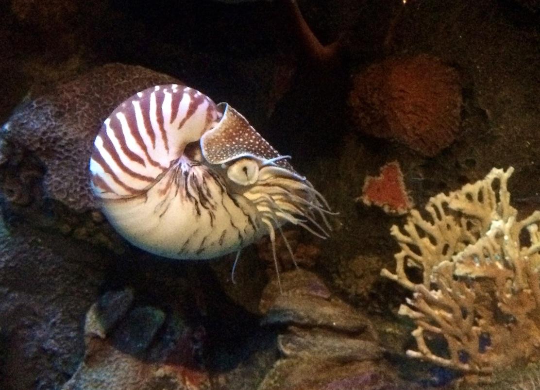 Nautilus at Monterey Bay Aquarium