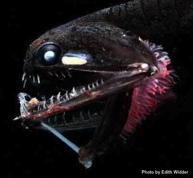 Barbeled dragonfish (Photostomias guernei)