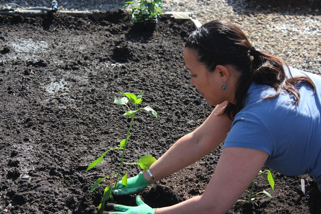 Planting peppers