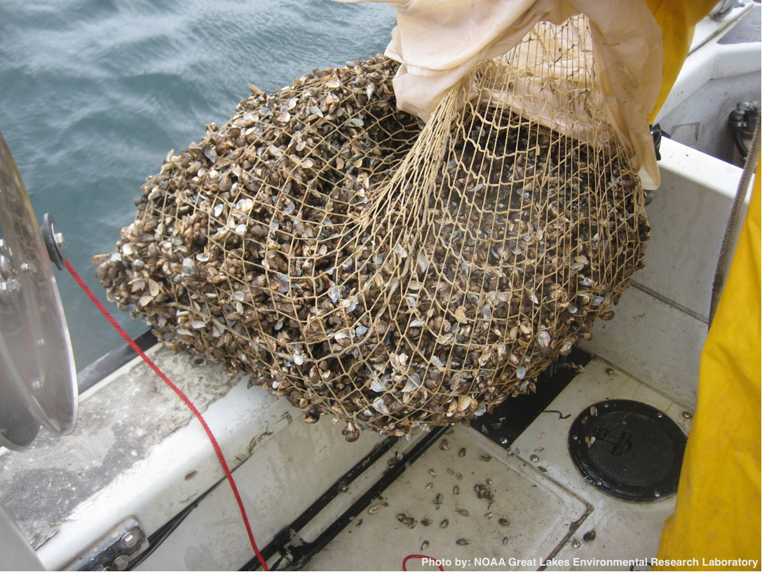 Quagga mussels collected with an epibenthic dredge in the St. Lawrence River near Cape Vincent, NY. Photo courtesy of NOAA's Mussel Watch program. 2009.