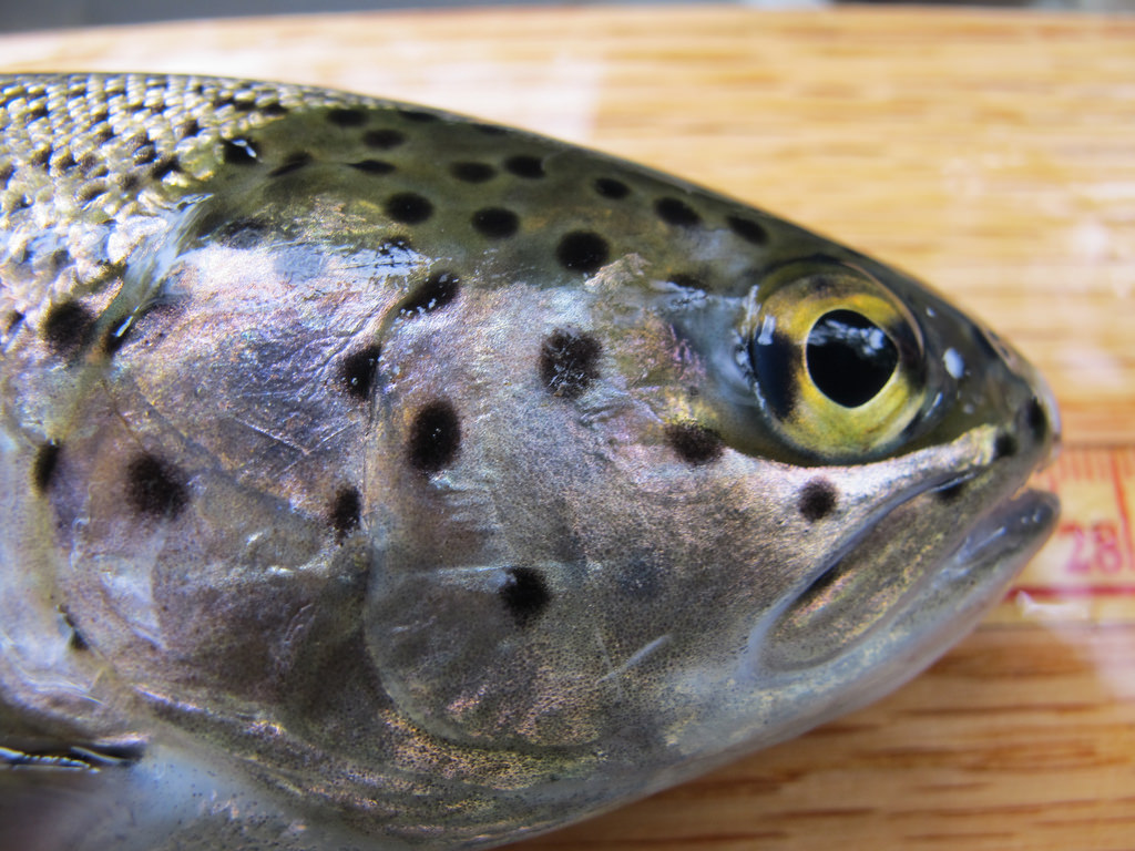 Rainbow trout fish freckles