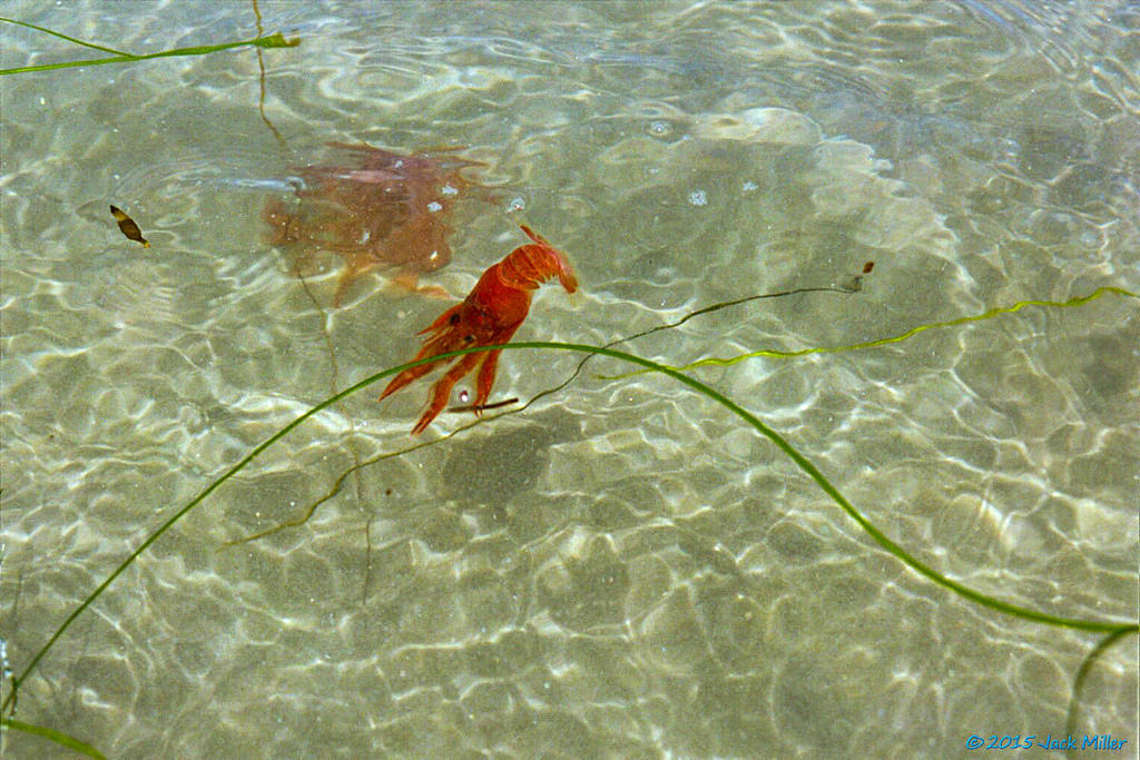 Red crab in the water