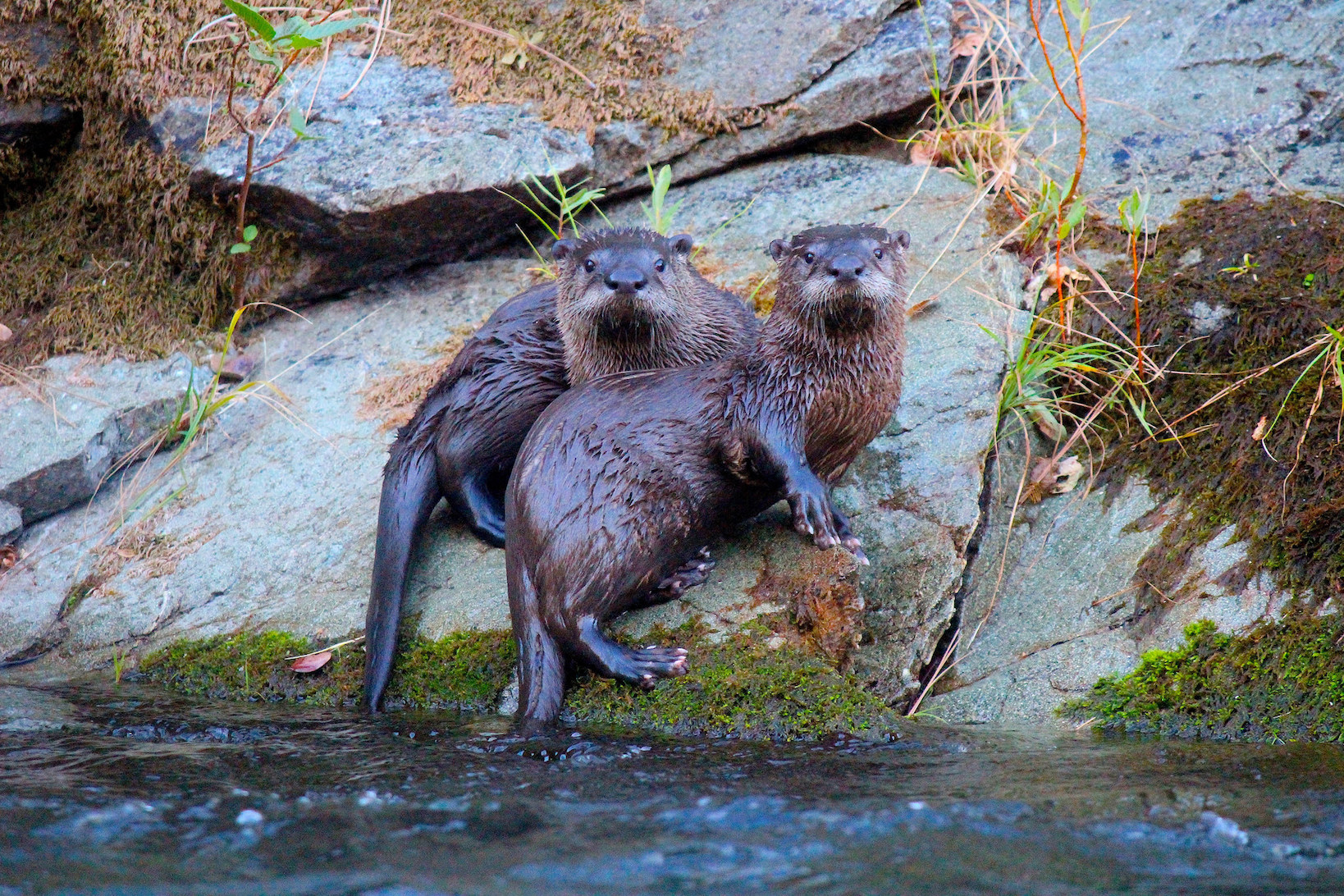River otters posing