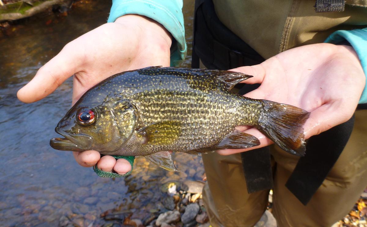 Roanoke Bass