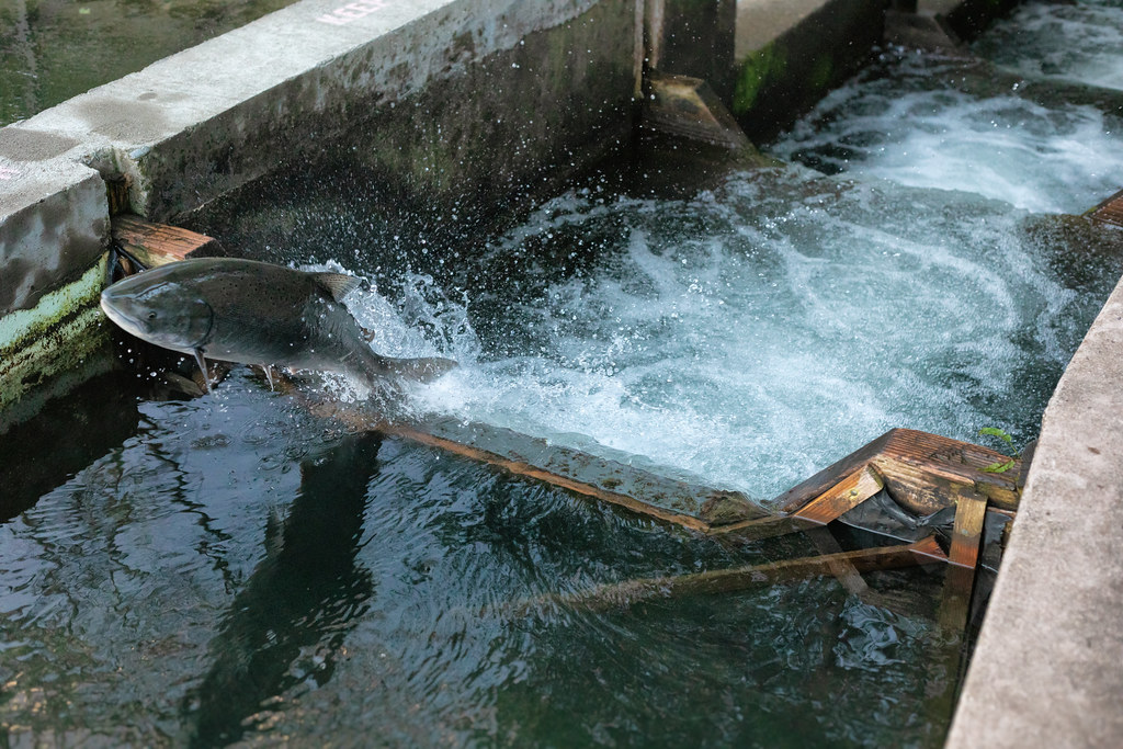 Salmon jumping in ladder