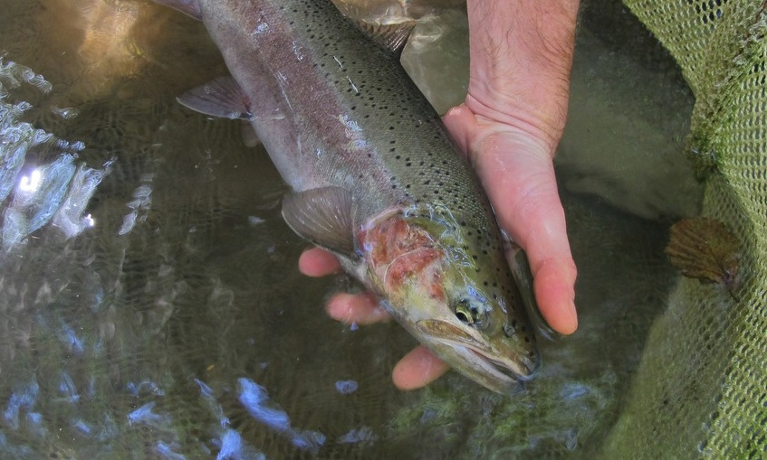 Scott Creek steelhead copy