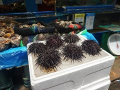 Sea Urchins for Sale