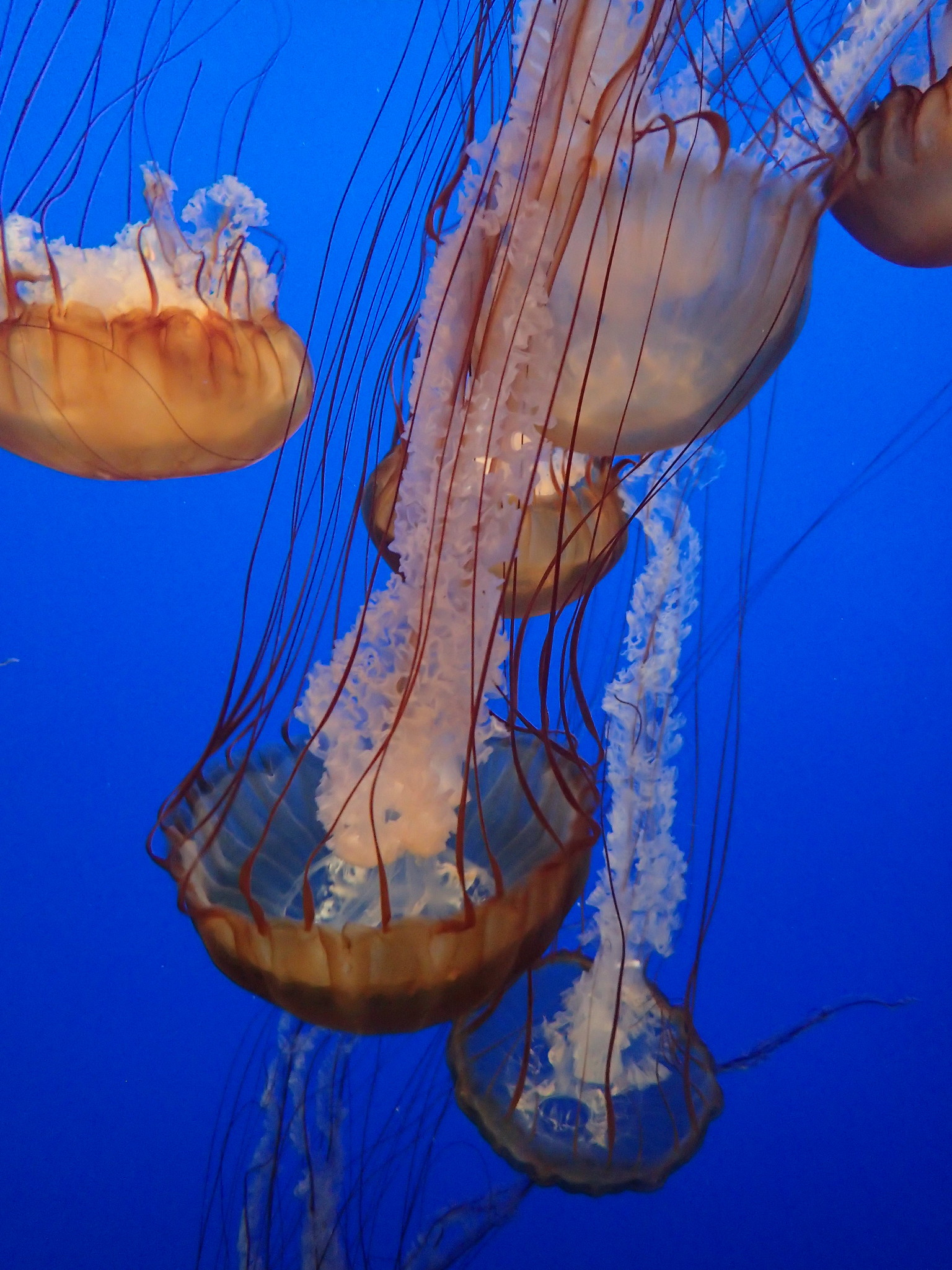Sea nettle jelly Monterey Bay Aquarium