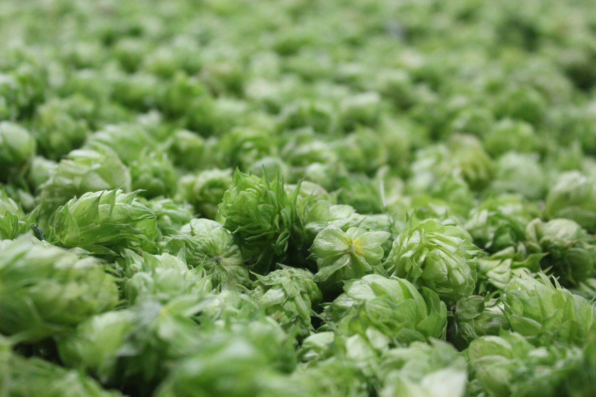 Sea of hops
