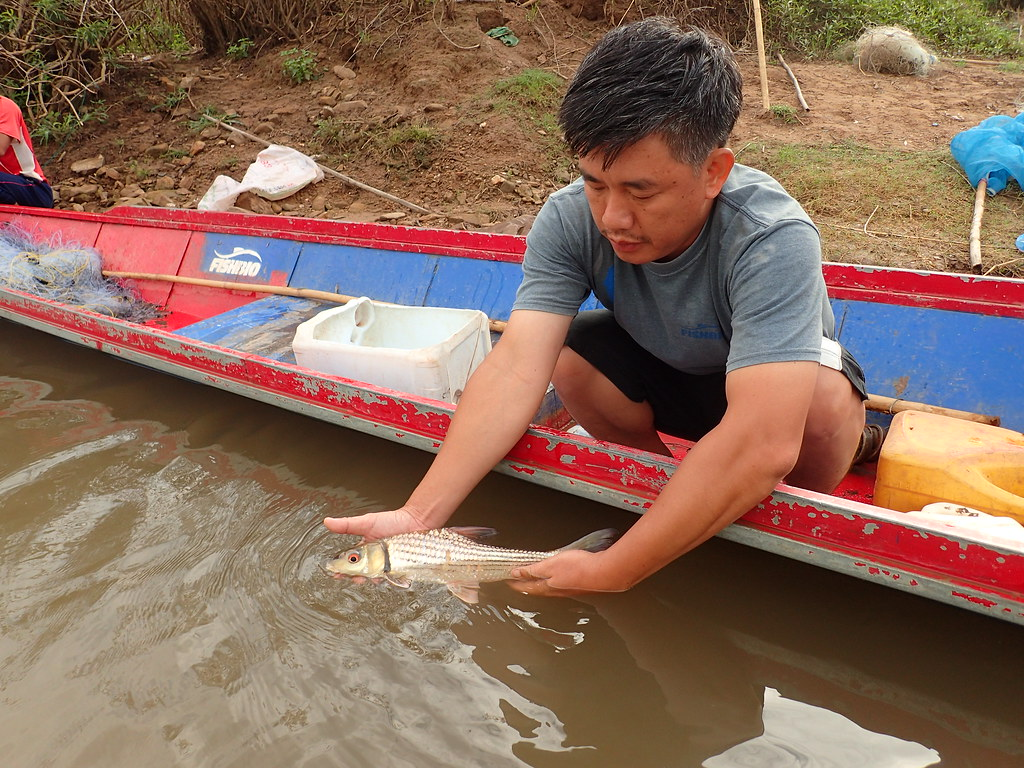 Sinsamout releasing juvenile Probarbus from FCZ fish survey
