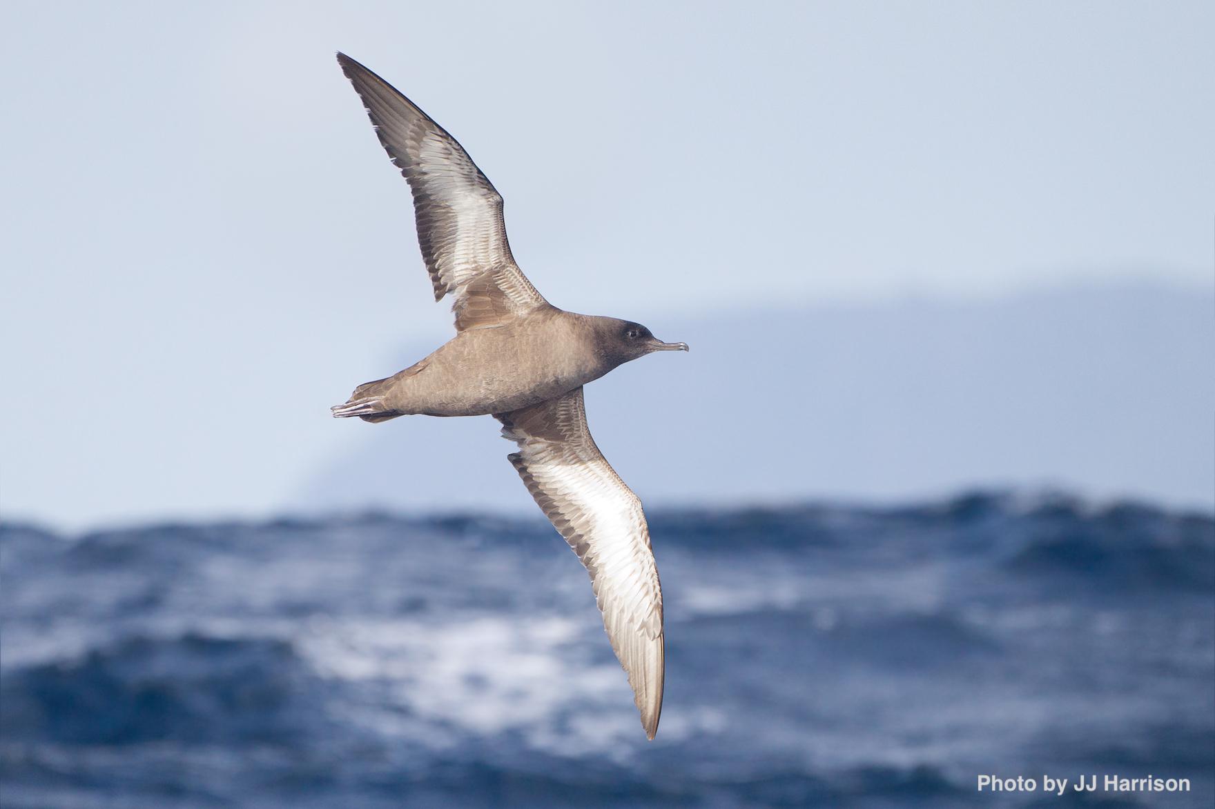 Sooty shearwater in_flight_-_SE_Tasmania