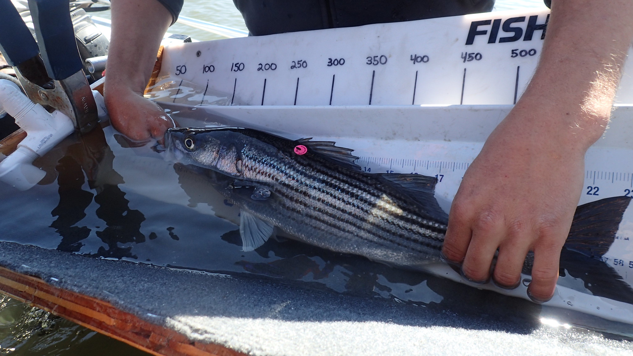 Striped bass in water with disc tag