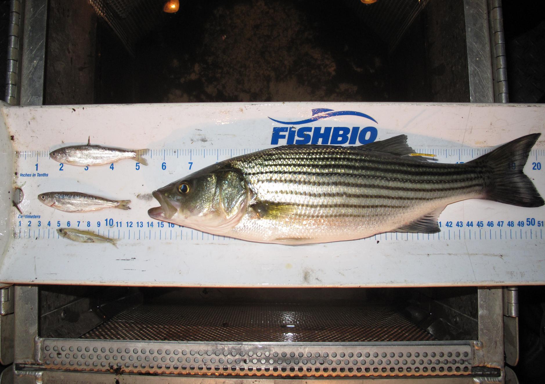 Striped bass predation