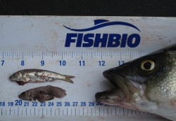 Striped-bass-predation2