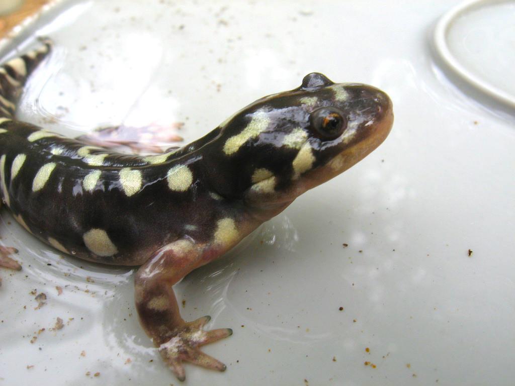Tiger Salamander Calaveras River