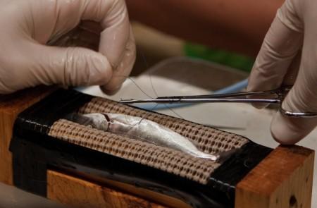 VAMP salmon tagging