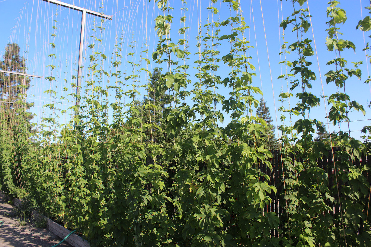 Wall of Hops