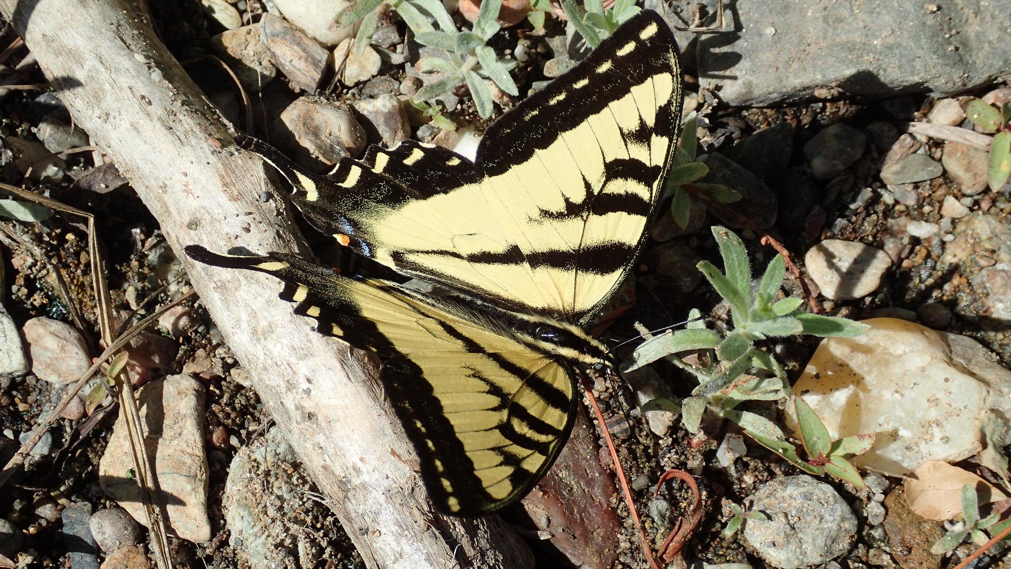 Western swallotail butterfly