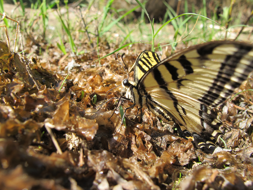 Western swallowtail butterfly on leaves