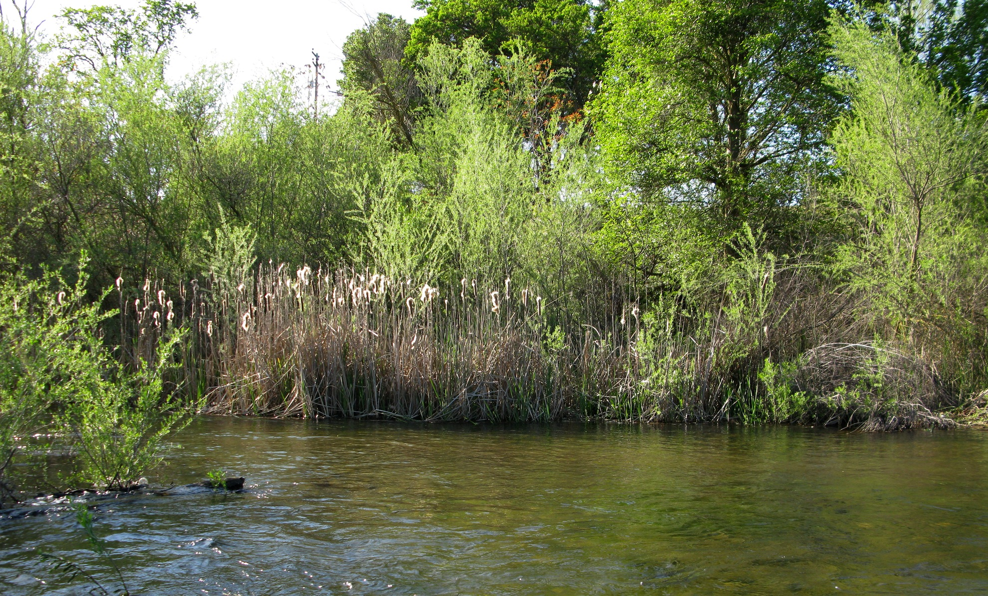 Wetland cattails