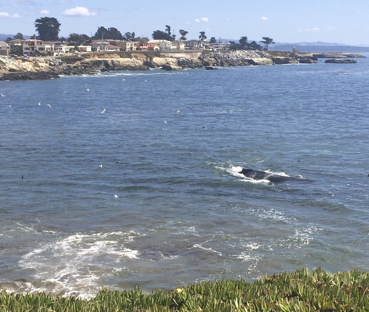 Whale swimming in Santa Cruz