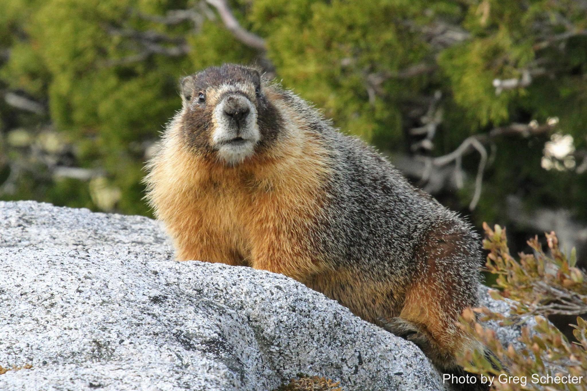 Yellow bellied marmot_Greg Schecter