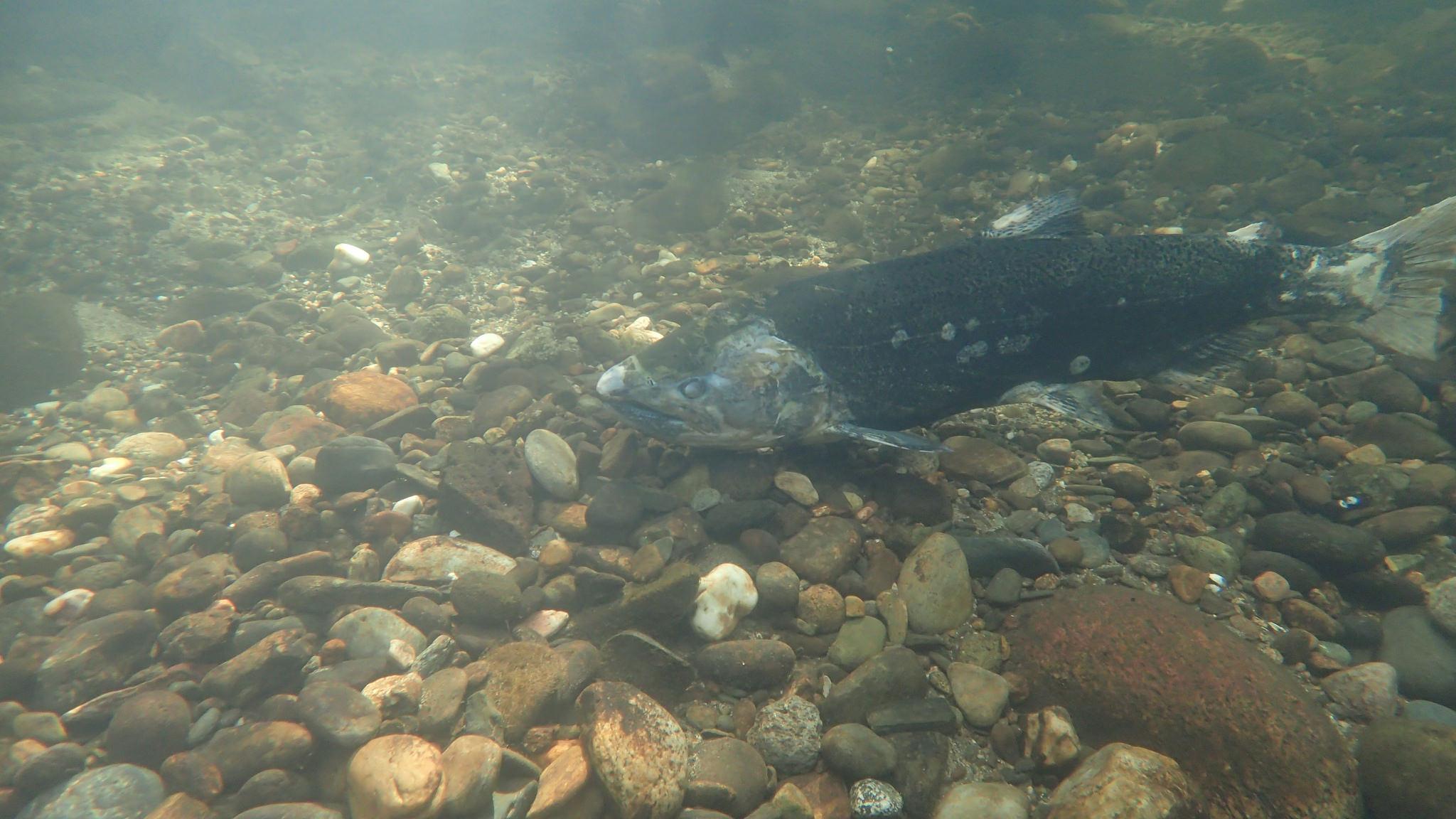 Zombie Salmon Spawning